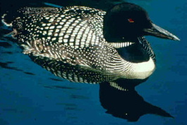 The Common Loon, Gavia immer